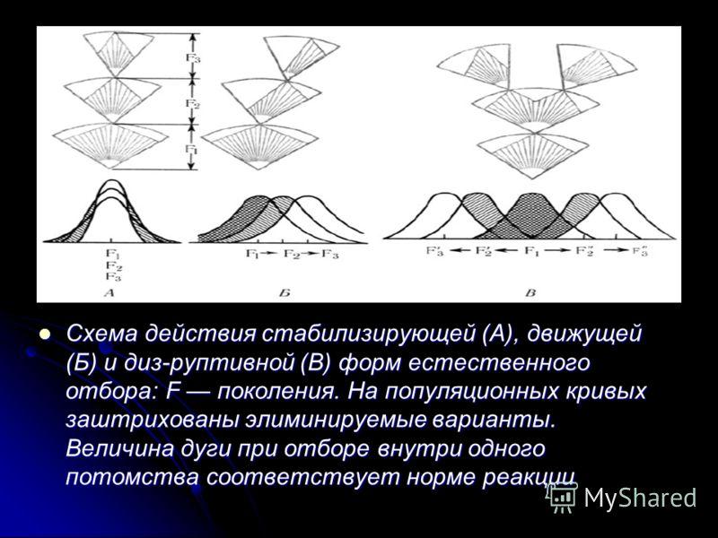 Схема действия стабилизирующей (А), движущей (Б) и диз-руптивной (В) форм естественного отбора: F поколения. На популяционных кривых заштрихованы элиминируемые варианты. Величина дуги при отборе внутри одного потомства соответствует норме реакции Схе
