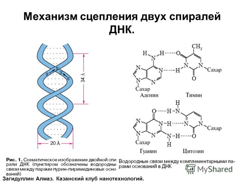 Механизм сцепления двух спиралей ДНК. Загидуллин Алмаз. Казанский клуб нанотехнологий.