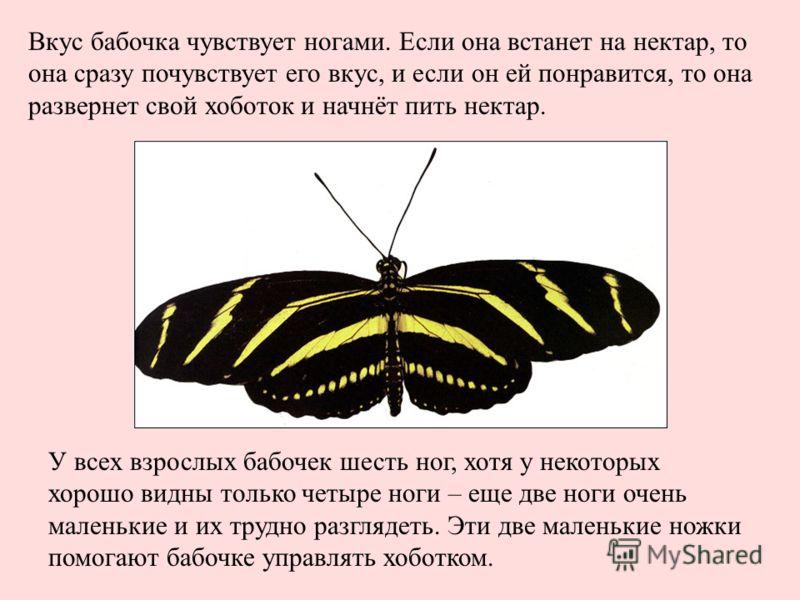 У всех взрослых бабочек шесть ног, хотя у некоторых хорошо видны только четыре ноги – еще две ноги очень маленькие и их трудно разглядеть. Эти две маленькие ножки помогают бабочке управлять хоботком. Вкус бабочка чувствует ногами. Если она встанет на