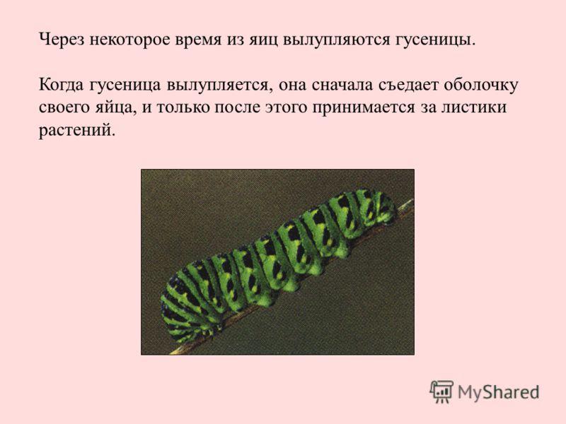 Через некоторое время из яиц вылупляются гусеницы. Когда гусеница вылупляется, она сначала съедает оболочку своего яйца, и только после этого принимается за листики растений.