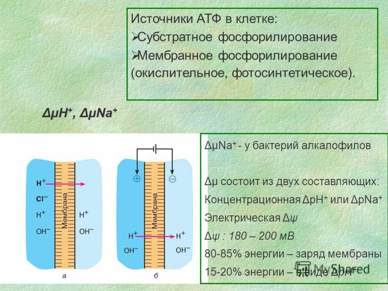 Источники АТФ в клетке: Субстратное фосфорилирование Мембранное фосфорилирование (окислительное, фотосинтетическое). ΔμΗ +, ΔμNa + ΔμNa + - у бактерий алкалофилов Δμ состоит из двух составляющих: Концентрационная ΔpH + или ΔpNa + Электрическая Δψ Δψ