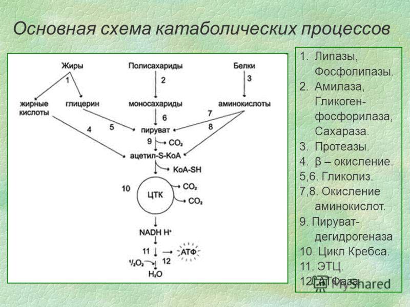 Основная схема катаболических процессов 1.Липазы, Фосфолипазы. 2.Амилаза, Гликоген- фосфорилаза, Сахараза. 3.Протеазы. 4.β – окисление. 5,6. Гликолиз. 7,8. Окисление аминокислот. 9. Пируват- дегидрогеназа 10. Цикл Кребса. 11. ЭТЦ. 12. АТФаза.