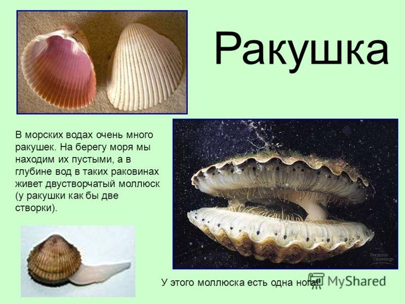 В морских водах очень много ракушек. На берегу моря мы находим их пустыми, а в глубине вод в таких раковинах живет двустворчатый моллюск (у ракушки как бы две створки). Ракушка У этого моллюска есть одна нога!