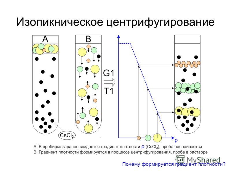 Изопикническое центрифугирование Почему формируется градиент плотности?