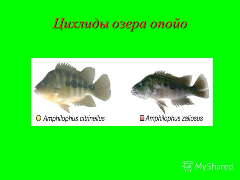 Цихлиды озера опойо