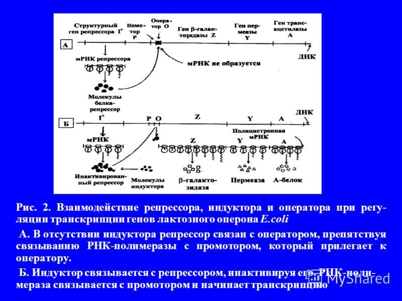 Рис. 2. Взаимодействие репрессора, индуктора и оператора при регу- ляции транскрипции генов лактозного оперона E.coli А. В отсутствии индуктора репрессор связан с оператором, препятствуя связыванию РНК-полимеразы с промотором, который прилегает к опе