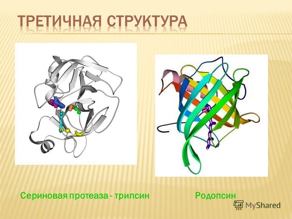 Сериновая протеаза - трипсинРодопсин