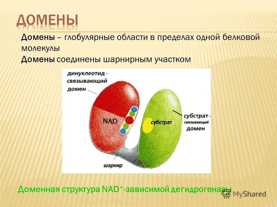 Домены – глобулярные области в пределах одной белковой молекулы Домены соединены шарнирным участком Доменная структура NAD + -зависимой дегидрогеназы