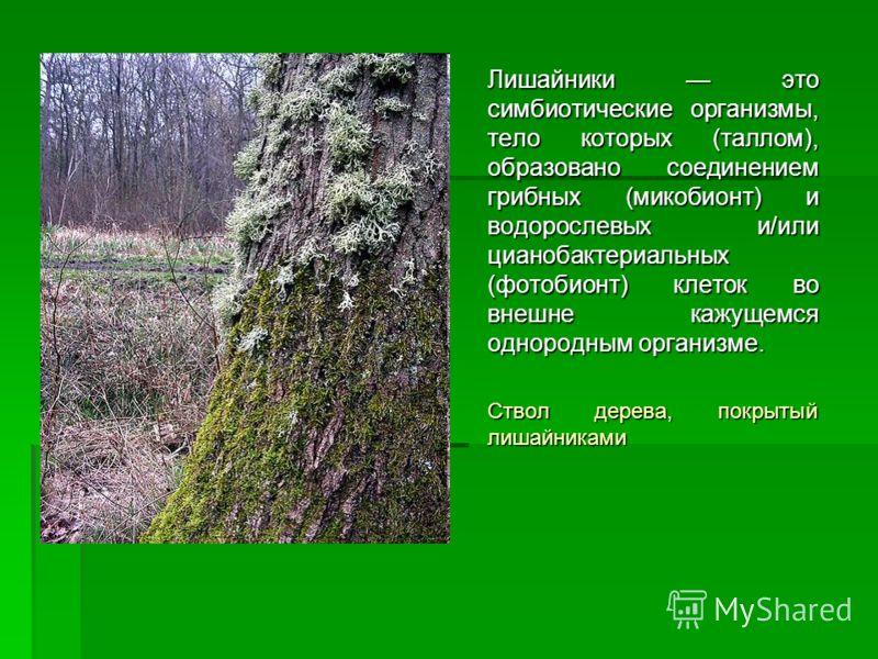 Лишайники это симбиотические организмы, тело которых (таллом), образовано соединением грибных (микобионт) и водорослевых и/или цианобактериальных (фотобионт) клеток во внешне кажущемся однородным организме. Ствол дерева, покрытый лишайниками