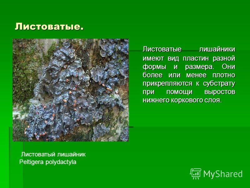 Листоватые. Листоватые лишайники имеют вид пластин разной формы и размера. Они более или менее плотно прикрепляются к субстрату при помощи выростов нижнего коркового слоя. Листоватый лишайник Peltigera polydactyla