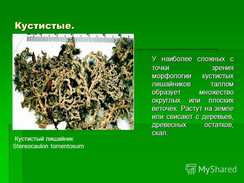 Кустистые. У наиболее сложных с точки зрения морфологии кустистых лишайников таллом образует множество округлых или плоских веточек. Растут на земле или свисают с деревьев, древесных остатков, скал. Кустистый лишайник Stereocaulon tomentosum