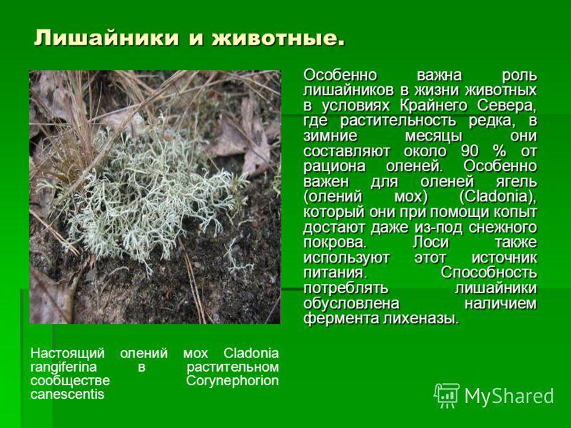 Лишайники и животные. Особенно важна роль лишайников в жизни животных в условиях Крайнего Севера, где растительность редка, в зимние месяцы они составляют около 90 % от рациона оленей. Особенно важен для оленей ягель (олений мох) (Cladonia), который