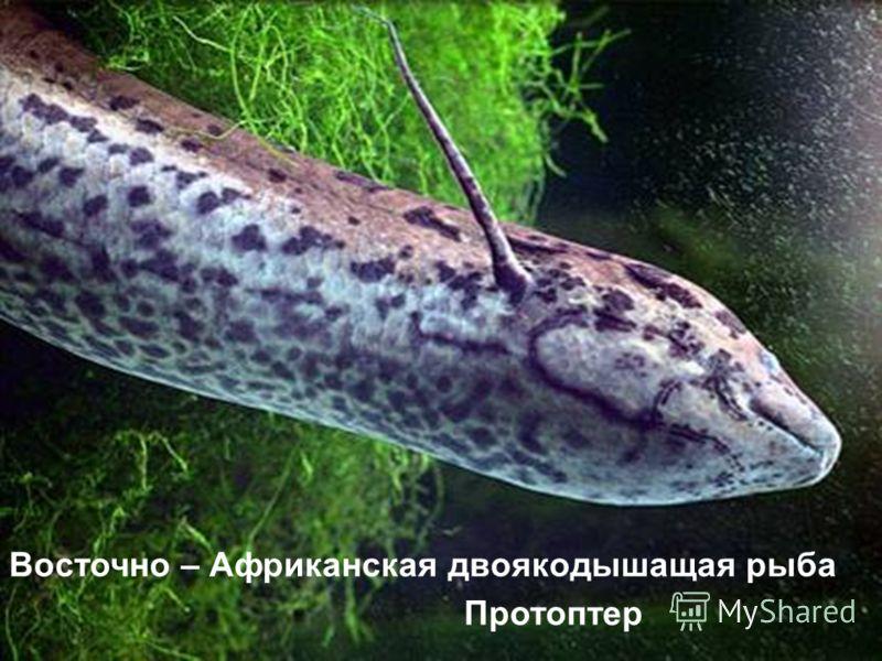 Восточно – Африканская двоякодышащая рыба Протоптер
