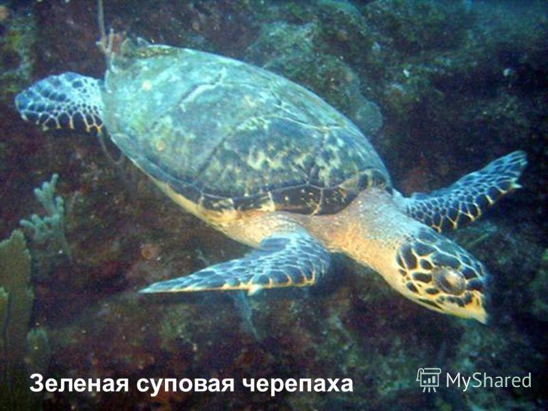 Зеленая суповая черепаха