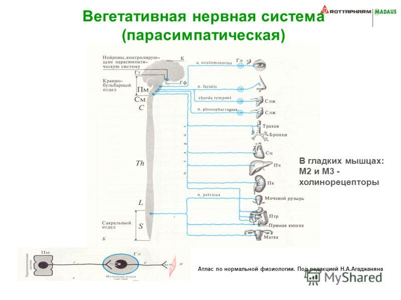Атлас по нормальной физиологии. Под редакцией Н.А.Агаджаняна Вегетативная нервная система (парасимпатическая) В гладких мышцах: М2 и М3 - холинорецепторы