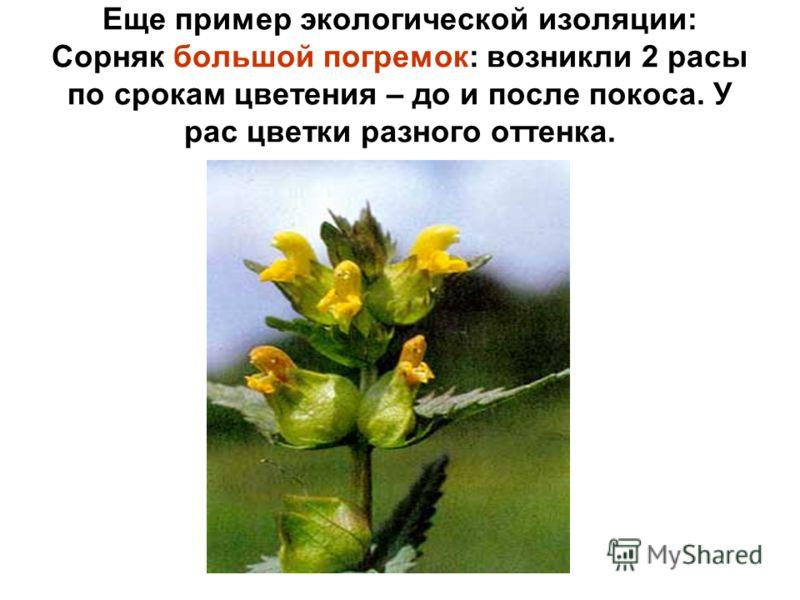 Еще пример экологической изоляции: Сорняк большой погремок: возникли 2 расы по срокам цветения – до и после покоса. У рас цветки разного оттенка.