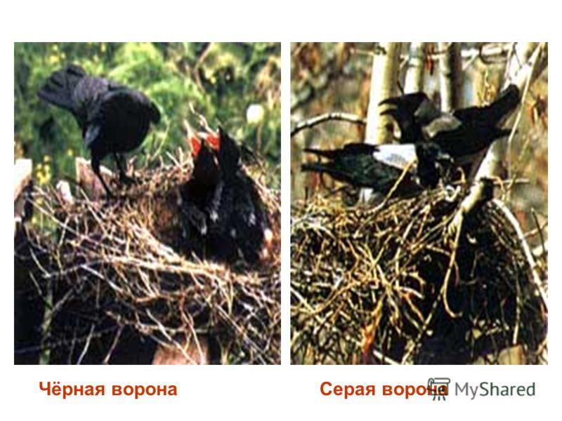 Чёрная воронаСерая ворона