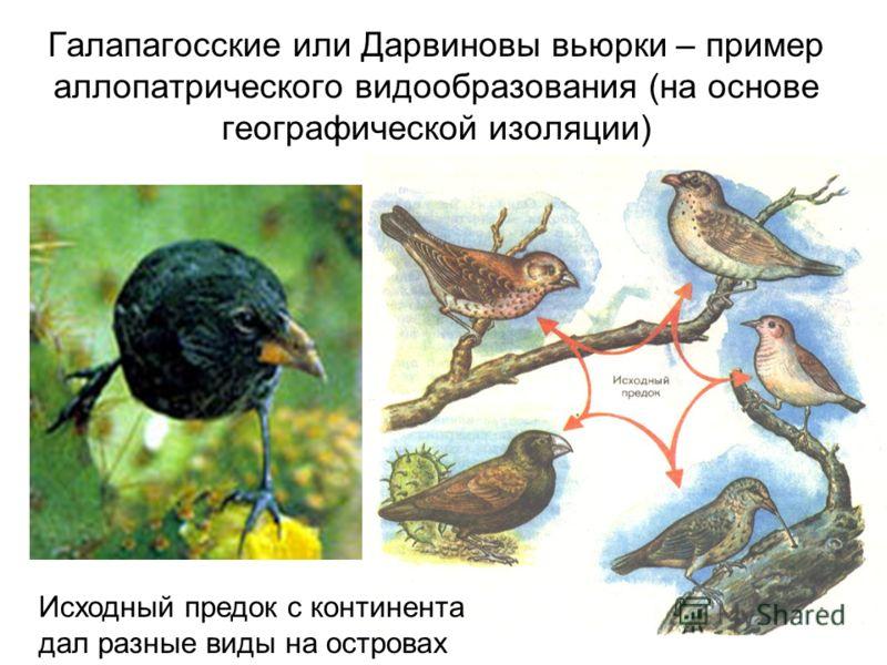 Галапагосские или Дарвиновы вьюрки – пример аллопатрического видообразования (на основе географической изоляции) Исходный предок с континента дал разные виды на островах