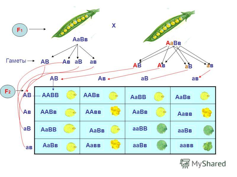 P цвет ФОРМА F1F1 Доминантный Рецессивный А а желтый зеленый гладкий морщинистый В в ааввААВВ Вв Аа