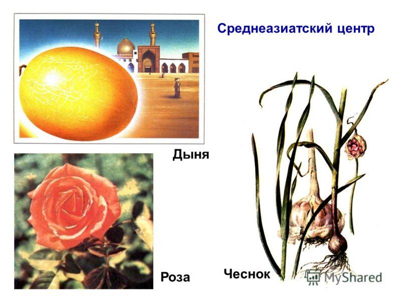 Дыня Роза Чеснок Среднеазиатский центр