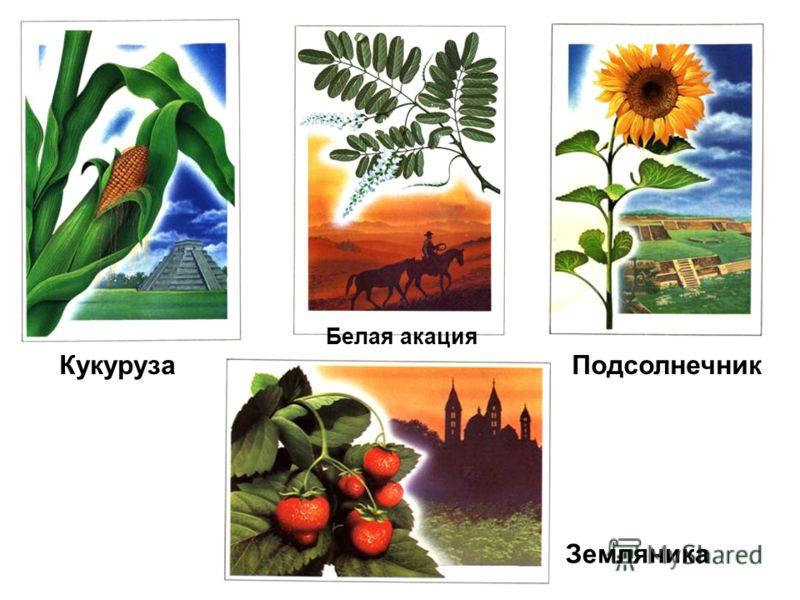 Кукуруза Белая акация Подсолнечник Земляника