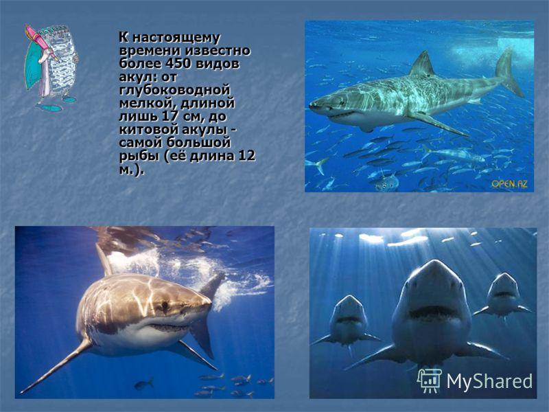 К настоящему времени известно более 450 видов акул: от глубоководной мелкой, длиной лишь 17 см, до китовой акулы - самой большой рыбы (её длина 12 м.). К настоящему времени известно более 450 видов акул: от глубоководной мелкой, длиной лишь 17 см, до
