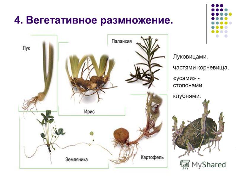 4. Вегетативное размножение. Луковицами, частями корневища, «усами» - столонами, клубнями.