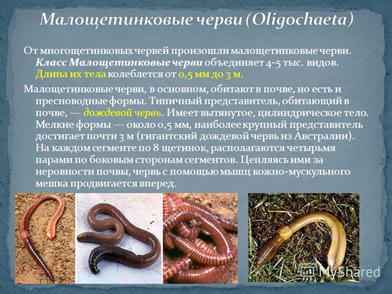 От многощетинковых червей произошли малощетинковые черви. Класс Малощетинковые черви объединяет 4-5 тыс. видов. Длина их тела колеблется от 0,5 мм до 3 м. Малощетинковые черви, в основном, обитают в почве, но есть и пресноводные формы. Типичный предс