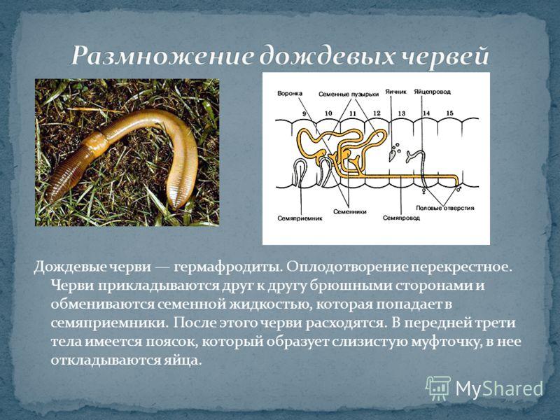 Дождевые черви гермафродиты. Оплодотворение перекрестное. Черви прикладываются друг к другу брюшными сторонами и обмениваются семенной жидкостью, которая попадает в семяприемники. После этого черви расходятся. В передней трети тела имеется поясок, ко