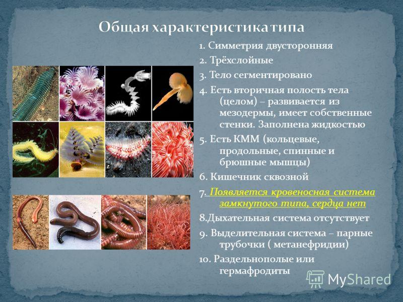1. Симметрия двусторонняя 2. Трёхслойные 3. Тело сегментировано 4. Есть вторичная полость тела (целом) – развивается из мезодермы, имеет собственные стенки. Заполнена жидкостью 5. Есть КММ (кольцевые, продольные, спинные и брюшные мышцы) 6. Кишечник