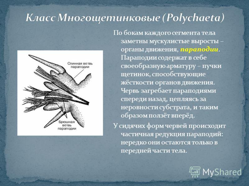 По бокам каждого сегмента тела заметны мускулистые выросты – органы движения, параподии. Параподии содержат в себе своеобразную арматуру – пучки щетинок, способствующие жёсткости органов движения. Червь загребает параподиями спереди назад, цепляясь з