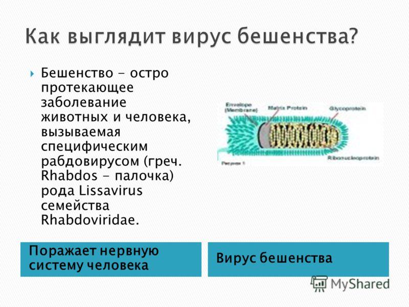 Поражает нервную систему человека Вирус бешенства Бешенство - остро протекающее заболевание животных и человека, вызываемая специфическим рабдовирусом (греч. Rhabdos - палочка) рода Lissavirus семейства Rhabdoviridae.