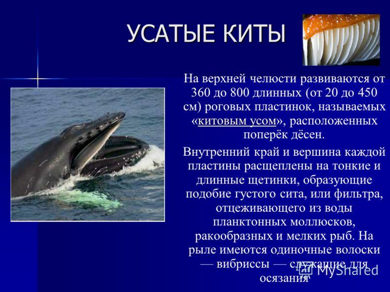 УСАТЫЕ КИТЫ На верхней челюсти развиваются от 360 до 800 длинных (от 20 до 450 см) роговых пластинок, называемых «китовым усом», расположенных поперёк дёсен.китовым усом Внутренний край и вершина каждой пластины расщеплены на тонкие и длинные щетинки