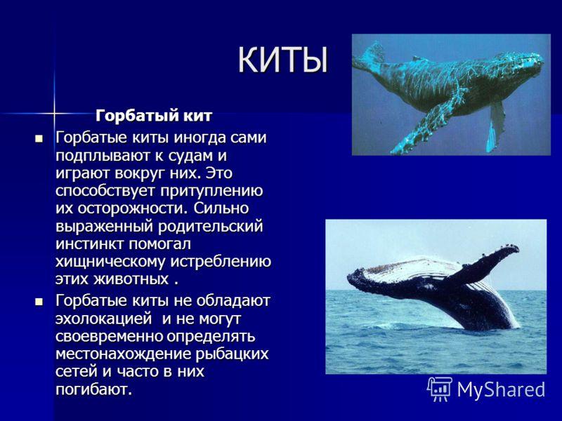 КИТЫ Горбатый кит Горбатые киты иногда сами подплывают к судам и играют вокруг них. Это способствует притуплению их осторожности. Сильно выраженный родительский инстинкт помогал хищническому истреблению этих животных. Горбатые киты иногда сами подплы