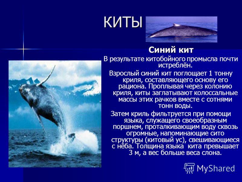 КИТЫ Синий кит В результате китобойного промысла почти истреблён. Взрослый синий кит поглощает 1 тонну криля, составляющего основу его рациона. Проплывая через колонию криля, киты заглатывают колоссальные массы этих рачков вместе с сотнями тонн воды.