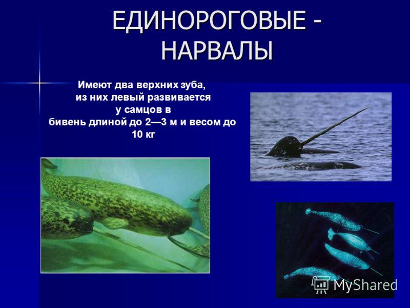 ЕДИНОРОГОВЫЕ - НАРВАЛЫ Имеют два верхних зуба, из них левый развивается у самцов в бивень длиной до 23 м и весом до 10 кг
