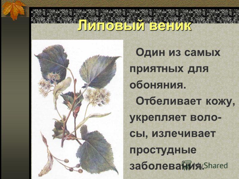 Липовый веник Один из самых приятных для обоняния. Отбеливает кожу, укрепляет воло- сы, излечивает простудные заболевания.