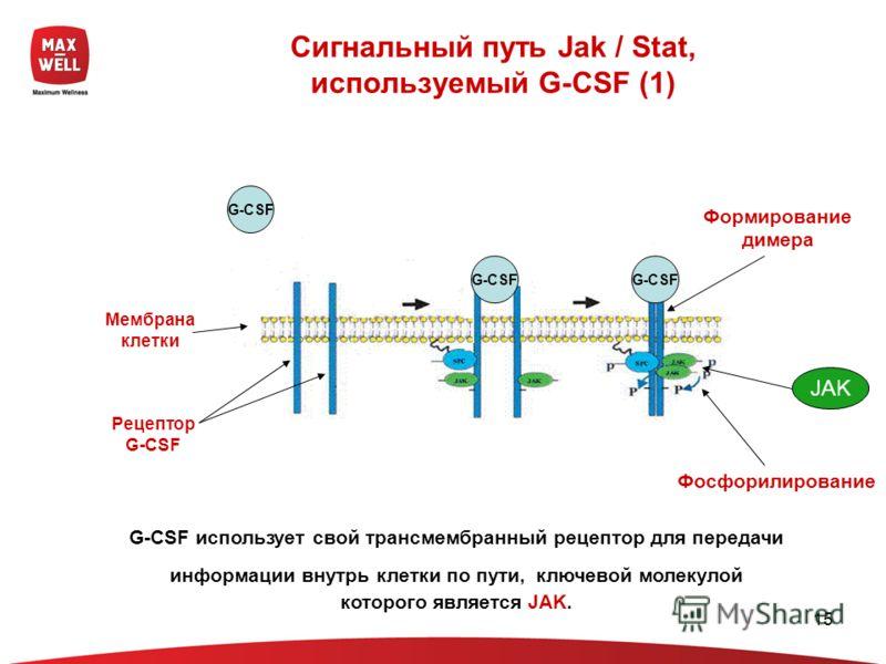 15 Сигнальный путь Jak / Stat, используемый G-CSF (1) Мембрана клетки Рецептор G-CSF G-CSF Формирование димера Фосфорилирование G-CSF использует свой трансмембранный рецептор для передачи информации внутрь клетки по пути, ключевой молекулой которого
