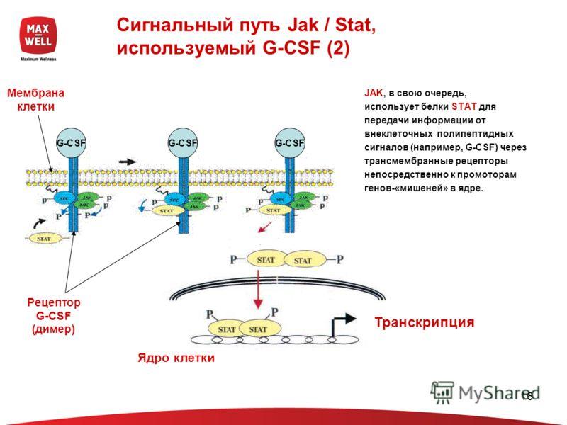 16 Сигнальный путь Jak / Stat, используемый G-CSF (2) Мембрана клетки Рецептор G-CSF (димер) Ядро клетки Транскрипция G-CSF JAK, в свою очередь, использует белки STAT для передачи информации от внеклеточных полипептидных сигналов (например, G-CSF) че