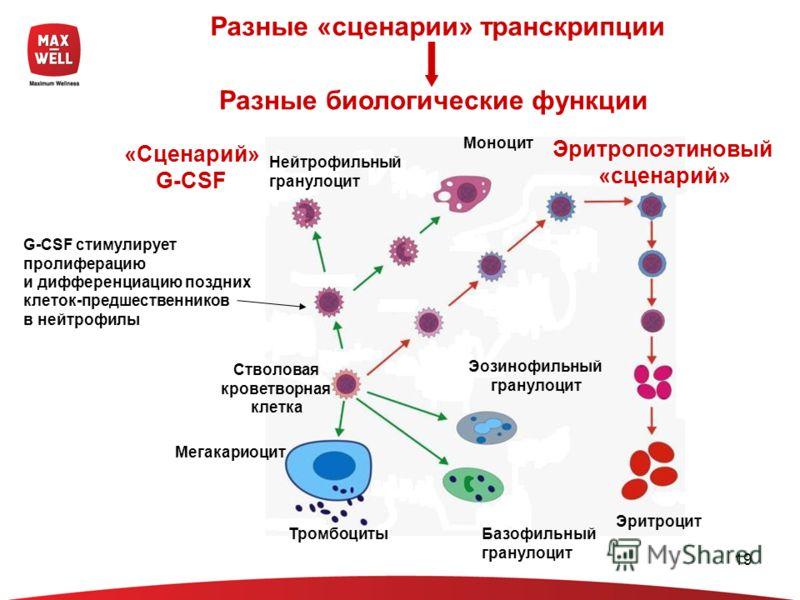 19 Разные «сценарии» транскрипции G-CSF стимулирует пролиферацию и дифференциацию поздних клеток-предшественников в нейтрофилы Разные биологические функции Эритропоэтиновый «сценарий» «Сценарий» G-CSF Нейтрофильный гранулоцит Эритроцит Стволовая кров