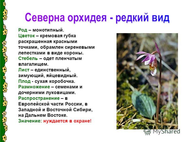 Род – монотипный. Цветок – кремовая губка раскрашенная красными точками, обрамлен сиреневыми лепестками в виде короны. Стебель – одет пленчатым влагалищем. Лист – единственный, зимующий, яйцевидный. Плод - сухая коробочка. Размножение – семенами и до