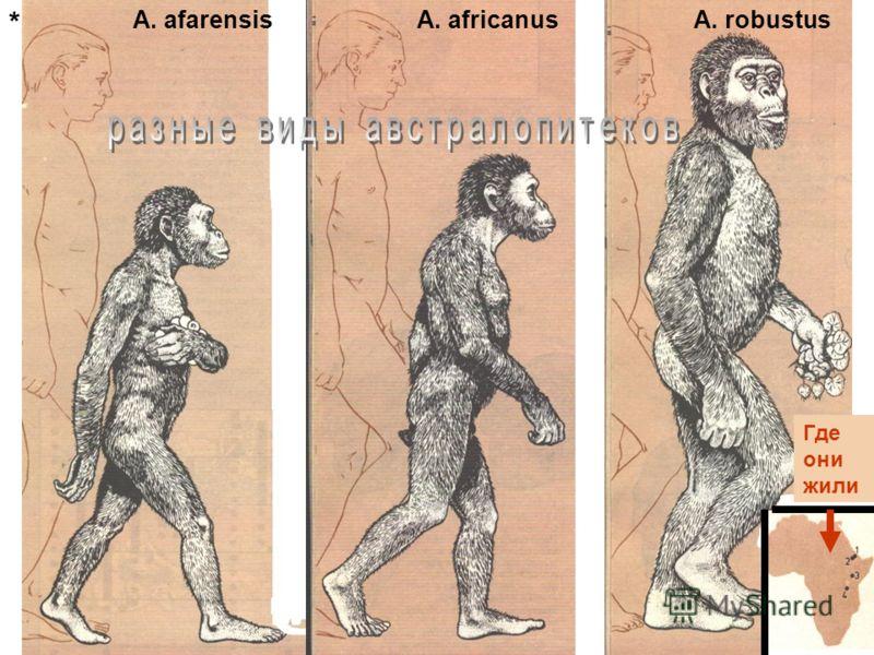 A. afarensisA. africanusA. robustus Где они жили *