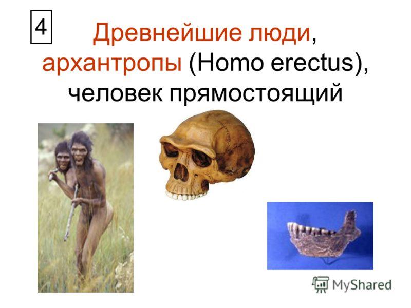 Древнейшие люди, архантропы (Homo erectus), человек прямостоящий 4