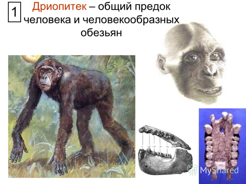 Дриопитек – общий предок человека и человекообразных обезьян 1