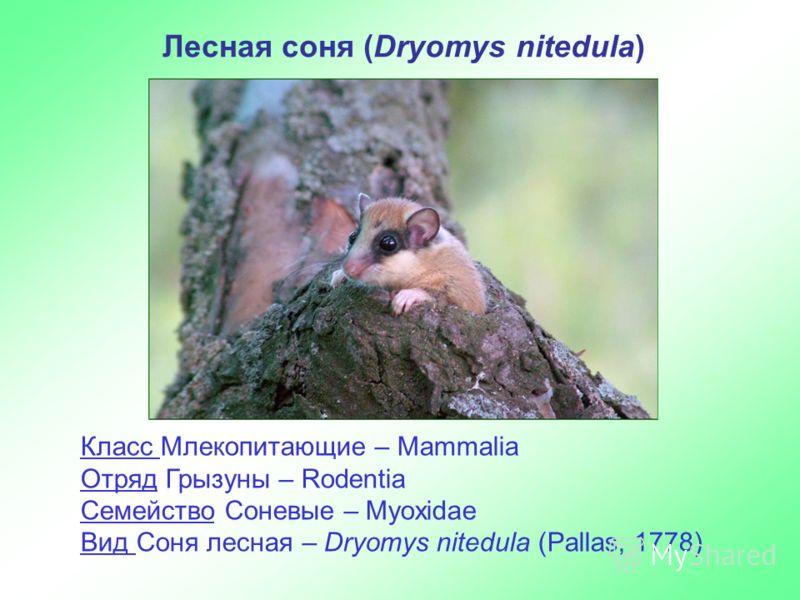Лесная соня (Dryomys nitedula) Класс Млекопитающие – Mammalia Отряд Грызуны – Rodentia Семейство Соневые – Myoxidae Вид Соня лесная – Dryomys nitedula (Pallas, 1778)