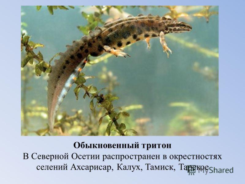 Обыкновенный тритон В Северной Осетии распространен в окрестностях селений Ахсарисар, Калух, Тамиск, Тарское