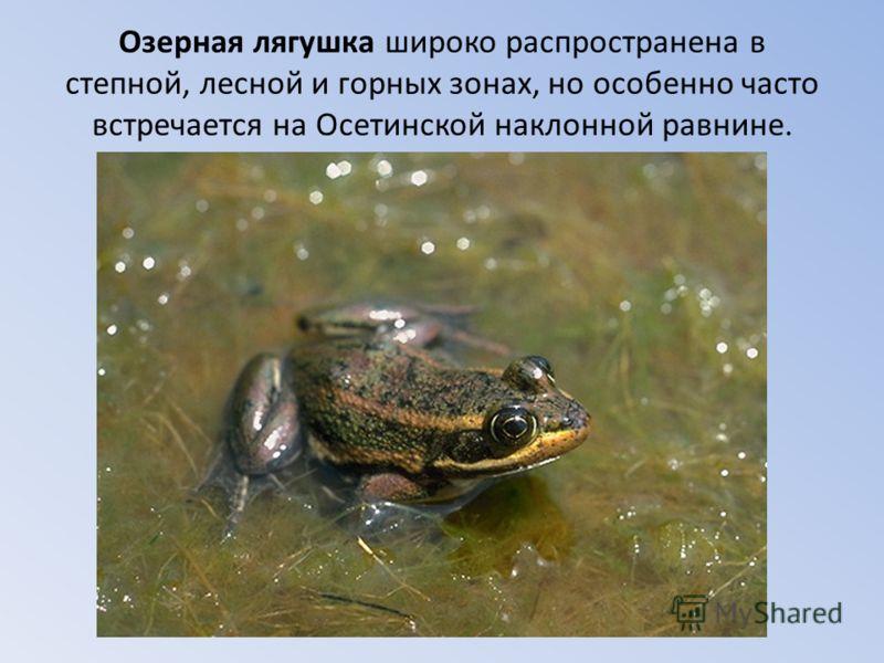 Озерная лягушка широко распространена в степной, лесной и горных зонах, но особенно часто встречается на Осетинской наклонной равнине.