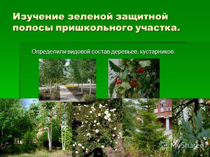 Изучение зеленой защитной полосы пришкольного участка. Определили видовой состав деревьев, кустарников. Определили видовой состав деревьев, кустарников.
