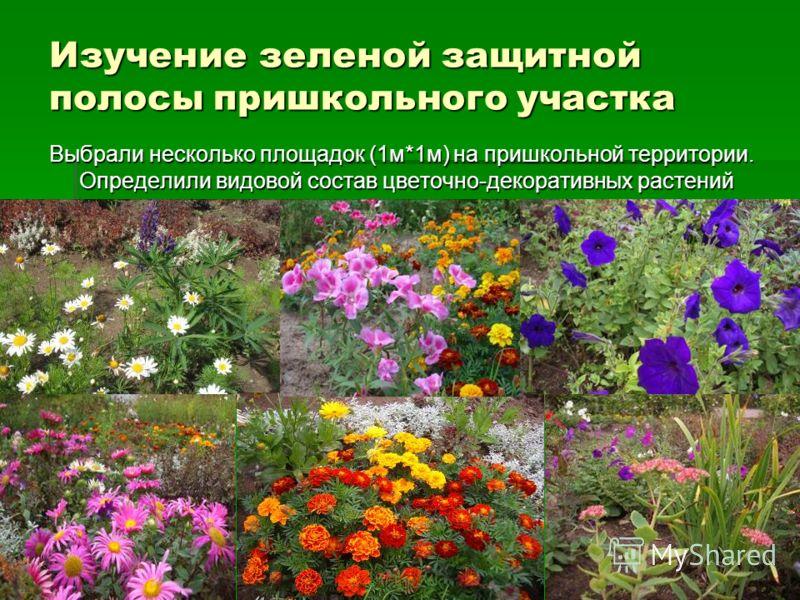 Изучение зеленой защитной полосы пришкольного участка Выбрали несколько площадок (1м*1м) на пришкольной территории. Определили видовой состав цветочно-декоративных растений