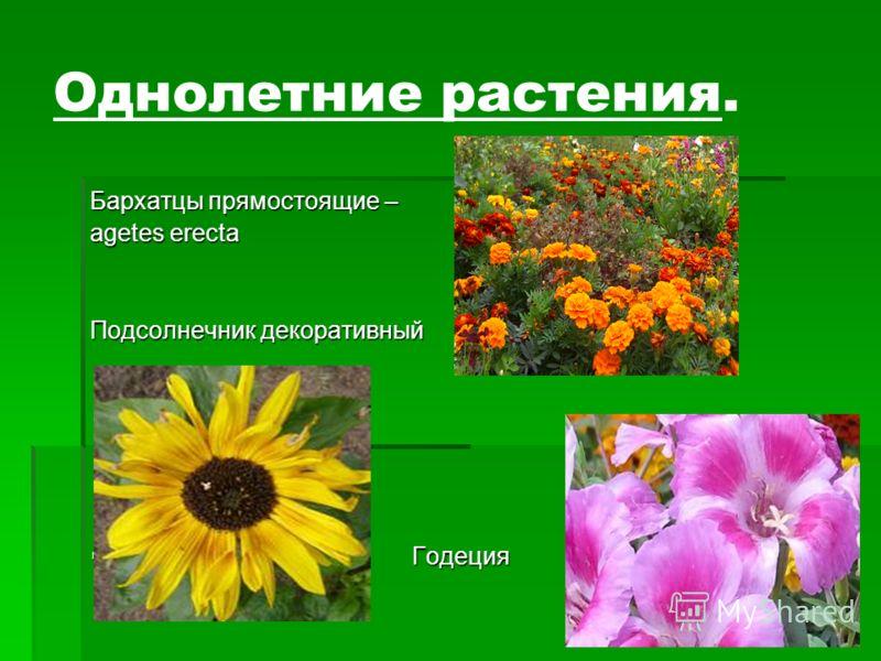 Однолетние растения. Бархатцы прямостоящие – agetes erecta Подсолнечник декоративный Годеция Годеция